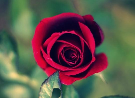 Rosa para mantener unida a la Familia